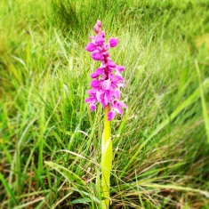 Spotted Orchid