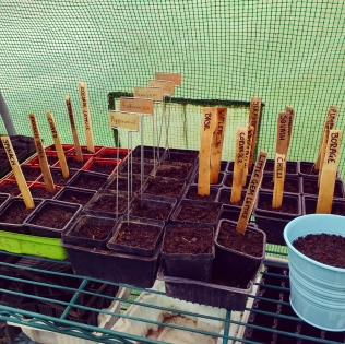 Planting the seedlings in the poly tunnel.