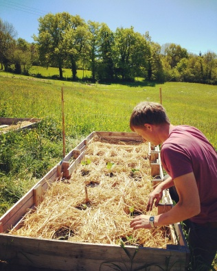 Planting out the seedlings for the first time into the lasagne beds.