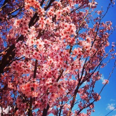 Spring cherry blossoms coming out