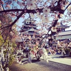 Cherry blossoms in Nakatsu