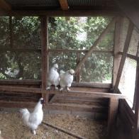 Hiro's Bantam chickens...aka miniature abominable snowmen