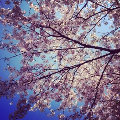 Cherry blossoms came our in force