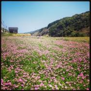 Clover field in full bloom