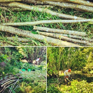Chop chop chop....cutting down four hazel trees to produce all the hazel stakes required to go through the bale courses on the house.