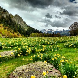 Daffodils on the GR10