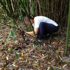 Harvesting bamboo for the interior walls